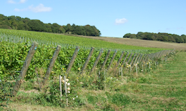 English, vineyard, wine
